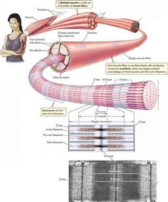 1000 Ideas About Muscle Contraction Steps On Pinterest