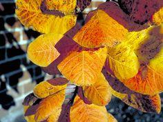 cotinus obovatus.  american smoke tree.