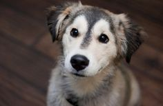 Over the last few years Reddit's compendium of cute /r/aww has gathered big dogs, small dogs, dogs of various colours and breeds, sleepy dogs, sprightly dogs and dogs inexplicably wearing pyjamas. Huskies have always dominated however, and in honour of this finest of achievements, here are some of the best husky dogs it has unearthed so far.