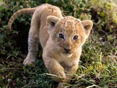 Oroszlán kölyök    Lion kid