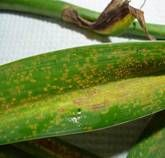 It doesn't require nasty chemical sprays that pollute your home. thus, you can use natural methods to organically control rust on plants. Plant Diseases, Day Lilies, Rust, Plant Leaves, Banana, Skin Care, Canning, Vegetables, Green Ideas