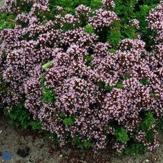 Merian - Origanum vulgare Compactum - Florashop.dk