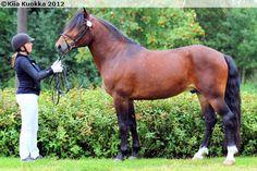 Finnhorse stallion Ypäjä Arska
