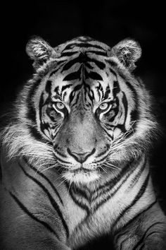 Sumatran Tiger by Justin Lo / black and white photography Pretty Cats, Beautiful Cats, Animals Beautiful, Nature Animals, Animals And Pets, Cute Animals, Wild Animals, Wildlife Nature, Unique Animals