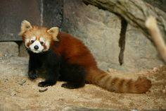 firefox 또는 red panda, lesser panda 라고 불리우는 녀석..  파이어폭스 브라우저는 이 녀석이 모델(?)임.. 불여우가 아니라 팬더임 ㅋㅋ 오오~ 멸종위기종인데 서울대공원 동물원에 왔나보다~ 보러가야징~!!