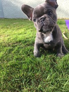 My darling Margot the 8 week old French bulldog pup