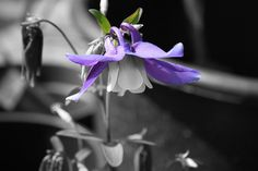 BLack and white photo highlighting the purple and white #springfever flower #garden #ireland