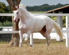 Medicine Hat Paint stallion horse