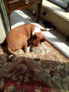Elliott The Basenji following the sun