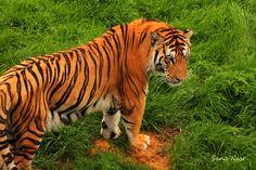 photographie tigre