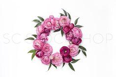 Fuchsia Ranunculus Collection #08
