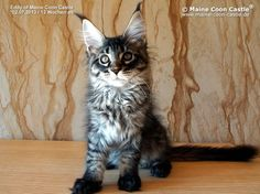 Eddy of Maine Coon Castle 12 Wochen alt, 2670g