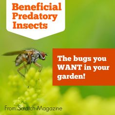 Beneficial Predatory Insects – The Bugs You Want In Your Garden... | http://www.ecosnippets.com/gardening/beneficial-predatory-insects-the-bugs-you-want-in-your-garden/