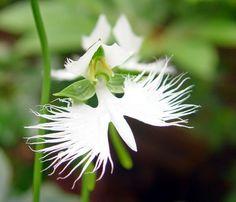 White Japanese Radiata (10 Seeds)