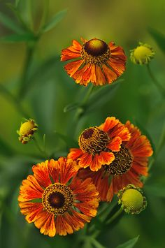 helenium.. gaillardia, indian blanket, firewheel. Pretty no matter what it is called