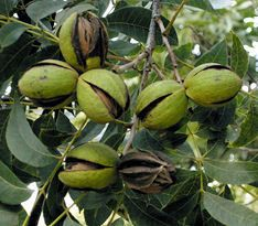 I really want some pecan trees in our yard.  I'm thinking of going for the Pawnee pecan because it doesn't get as big as the others.