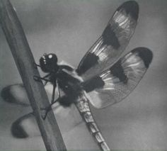 Dragonfly. Cover art. _The Chicago Naturalist, Vol. 4, No. 2_...