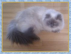 Blue Point Himalayan Cat  - Traditional Doll Face Himalayans...... I can never decide which is cuter - Doll Face or Traditional Face. Both are beautiful & sweet..