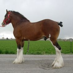 Jaw Dropping Clydesdale Stallion ❤ liked on Polyvore featuring horses