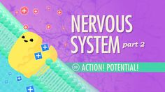 The Nervous System, Part 2 - Action! Potential!: A&P #9