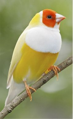Lady Gouldian Finch, beautiful and possible in trouble there are believed to be only 2,500 adults in the wild.