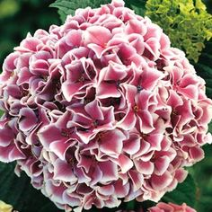 Buy Raspberry Parfait Hydrangea at Michigan Bulb 3-5 feet mid to late summer bloom