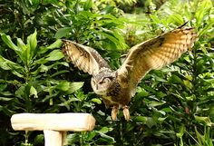 Moluccan Hawk Owl Owl Species, Birds Of Prey, Raptors, Owls, Awesome, Water, Animals, Gripe Water, Animaux