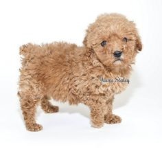 Cute little apricot poodle puppy on a white background.     ...for training DVD's... http://www.trainingdogsvideos.com/