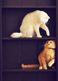 curious cats in a bookcase!