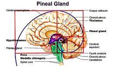 Fibonacci Pineal Gland