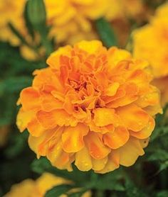 The color keeps on coming all summer with rich gold flowers on hardy plants. Gold Flowers, Orange Flowers, Tropical Flowers, Spring Flowers, Gerbera, Birth Flower Tattoos, Pink Backdrop, Marigold Flower, Leaf Crafts