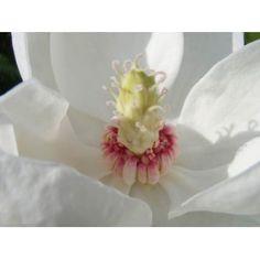 Magnolia Wilsonii Duftende magnolie
