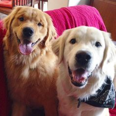 What's better than one 9 month old retriever puppy?? TWO NINE MONTH OLD RETRIEVER PUPPIES!! Oreo the white retriever baby boy and Rocky the golden retriever baby boy say howl-ooo!!!