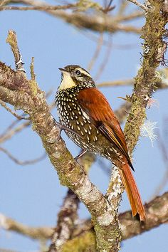 The Pearled Treerunner (Margarornis squamiger) is a species of bird in the Furnariidae family. It is found in Argentina, Bolivia, Colombia, Ecuador, Peru, and Venezuela.