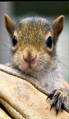that face! I saved one of these little guys the other night from my mean little puppy (a yorkie-chi). She's not really mean but her ruff play with a baby squirrel was mean! Hamsters, Rodents, Cute Squirrel, Baby Squirrel, Squirrels, Cute Baby Animals, Animals And Pets, Funny Animals, Squirrel Pictures