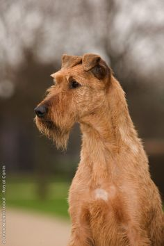 IRISH TERRIER, our dog is an Irish terrier. She is wonderful and beautiful.