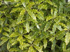 Pittosporum eugenioides - tarata, Lemonwood Tall Shrubs, Popular Tree, Fast Growing Trees, Specimen Trees, Gardening Supplies, Garden Trees, Small Trees, Back Gardens, Fruit Trees