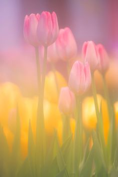 Tulips in the spring! Love the soft hazy effect of this photo Spring Colors, Spring Flowers, Flowers Nature, Beautiful Flowers, Tulips Flowers, Paper Flowers, Pink Yellow, Yellow Tulips, Belle Photo