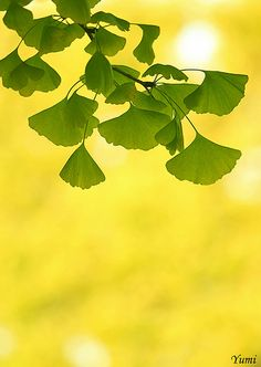 Gingko Tree - iconic prairie style and beautiful in the Fall as well.