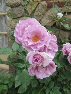 Lavender Simplicity Rose, so soft