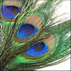 3 large amazing Peacock feathers. by FreddyTheFeather on Etsy