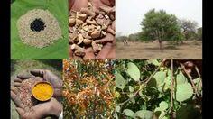 Tribal Medicines of Gandhamardan Hills for Cissus- Benincasa Toxicity: F...