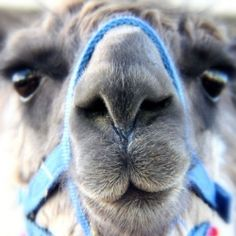 Something about a Llama's face just makes me giggle..Llama fest was a fun photograph opportunity!