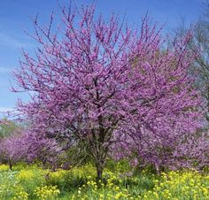 Numerous Redbud tree facts