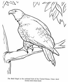 bald eagle bird identification drawing coloring page free printable bald eagle coloring pages featuring wild animals