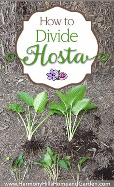 to Divide Hostas Learn how to divide hostas - make new plants, keep your pants healthy, make your garden gorgeous! Come see at Learn how to divide hostas - make new plants, keep your pants healthy, make your garden gorgeous! Come see at Shade Garden Plants, Hosta Plants, Garden Shrubs, Diy Garden, Lawn And Garden, Garden Projects, Garden Landscaping, Landscaping Ideas, Flowering Plants