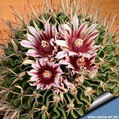 Sementes Cactus Flor Stenocactus Crispatus Mudas Suculenta - R$ 9,90 no MercadoLivre
