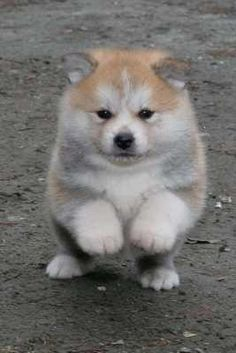 I am totally in love with Pomskies right now. A Pomsky is the mix of a Pomeranian and a husky. They are so cute and I want a Pomsky so bad. Tell me what you think of Pomskies. Akita Puppies, Akita Inu Puppy, Pomsky Puppies, Cute Puppies, Cute Dogs, Dogs And Puppies, Doggies, Shiba Inu, Pomeranian Husky