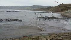 Gulls diving for shrimp