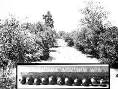 Florida Memory - Blueberries from M.A. Sapp's farm - Valparasio, Florida    192-